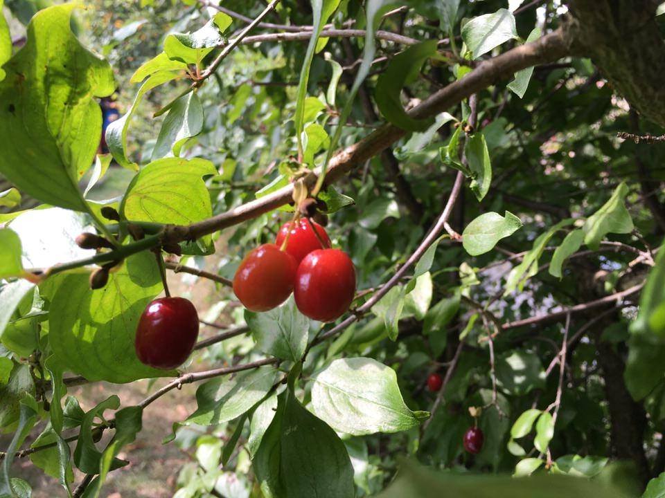 Kornelkirsche, auch Dirndlkirsche genannt. Gesundes Wildobst, es kann Fieber senken. Die Wildpflanze stammt aus dem Kaukasus, enthält viel Vitamin C. Die Früchte sind zwischen September und Oktober reif.