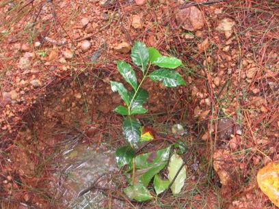 植えたばかりの苗木