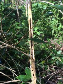 穿孔虫の被害にあった幹