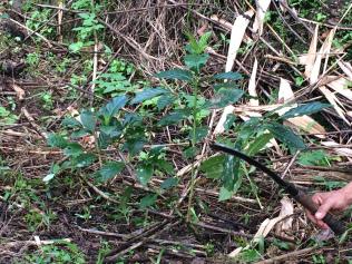 斜めに定植した苗木