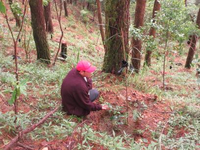 植林から1年たったコーヒーの木