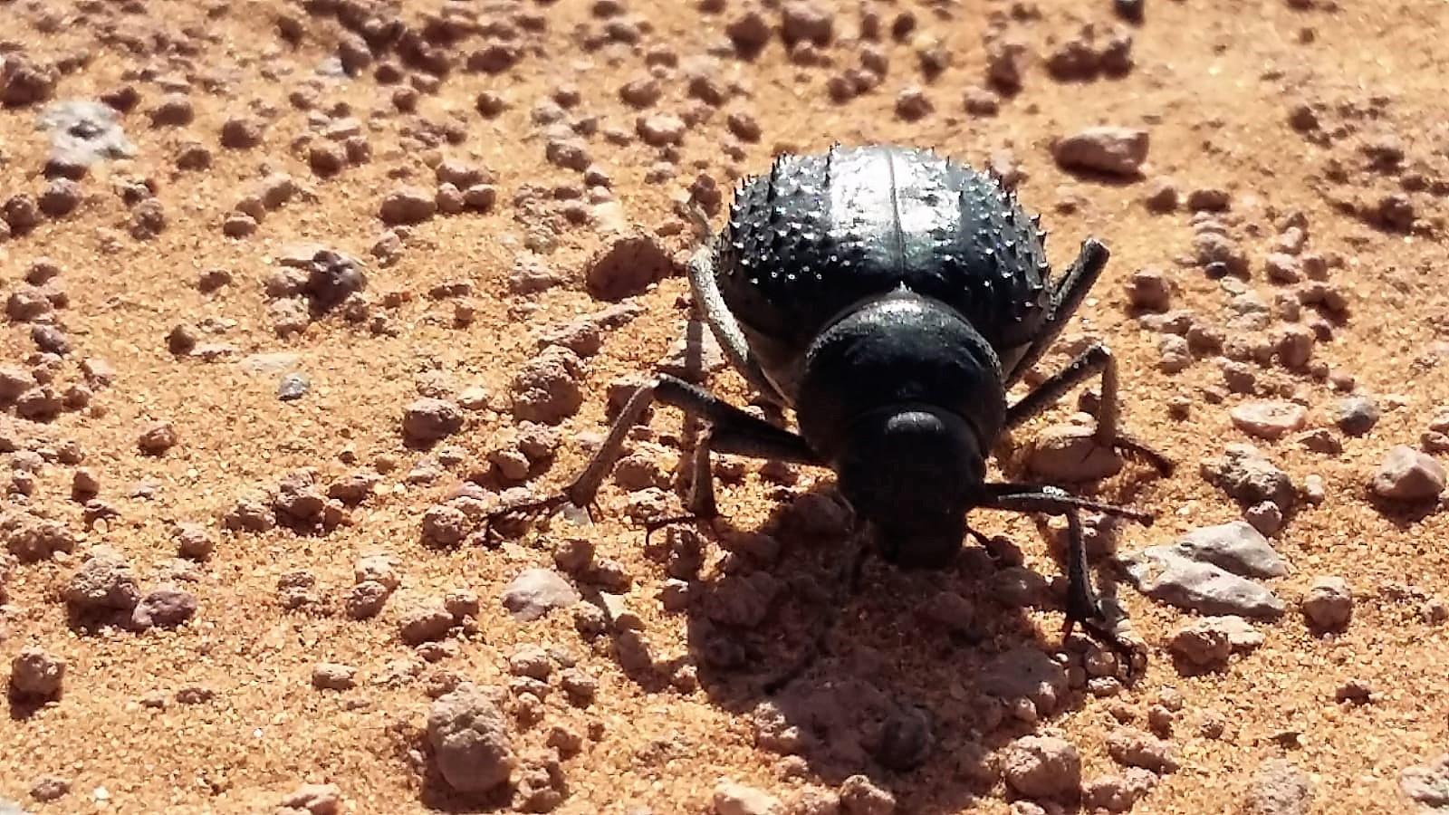Nebeltrinker-Käfer