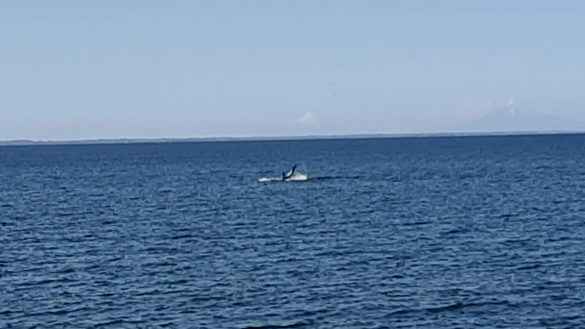 Delphin Salto