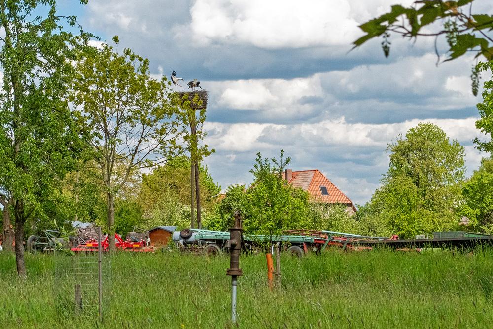 Ein Storch landet auf einem Horst in Bleckede in den Elbauen. Ein zweiter Storch  kümmert sich in dem Nest um drei Jungvögel. Der Horst steht auf einem hohen Pfahl auf dem Gelände eines Bauernhofes.