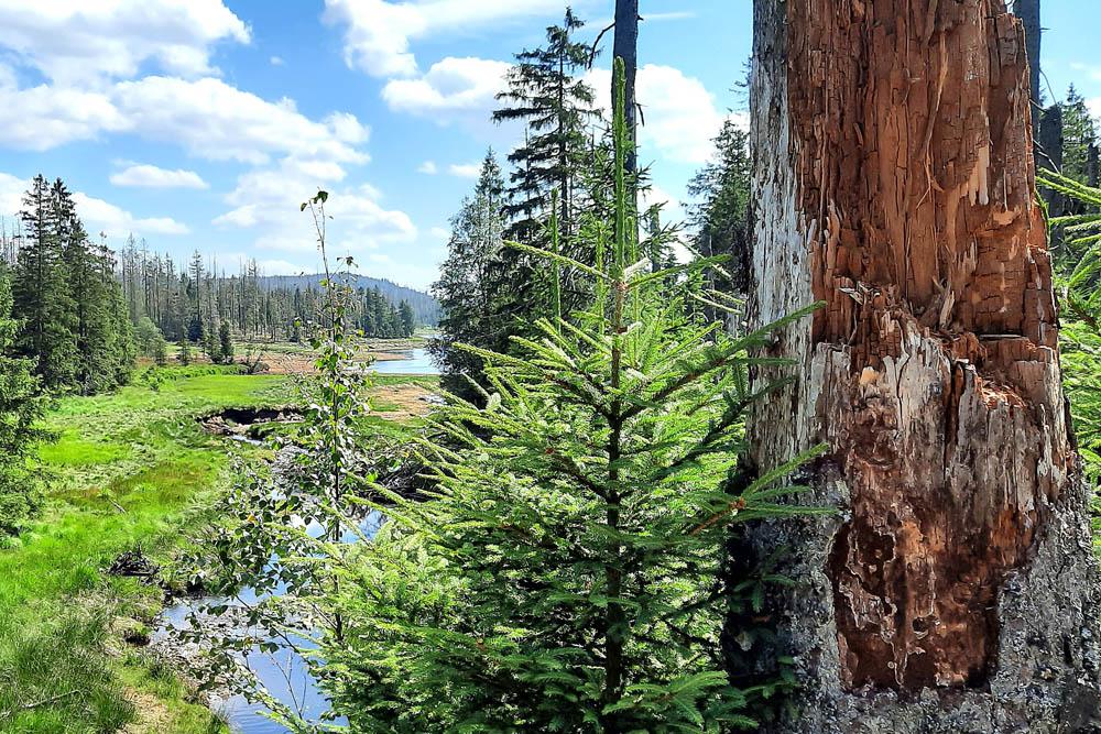 Blick in ein Tal mit einem See. Große Bäume stehen am Ufer. Es gibt auch abgestorbene Bäume. Im Hintergrund sieht man einen Berg des Mittelgebirges Harz.Harzes.