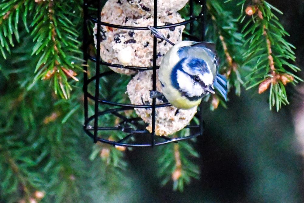 Eine Blaumeise hängt an einem Meisenknödel, der an einem Tannenbaum angebracht ist. Der Vogel ist auf der Suche nach Futter, beobachtet aber auch die Umgebung genau..