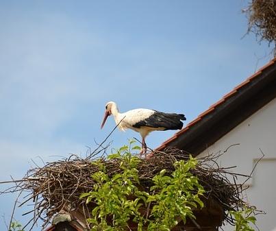 Storch in der Wetterau