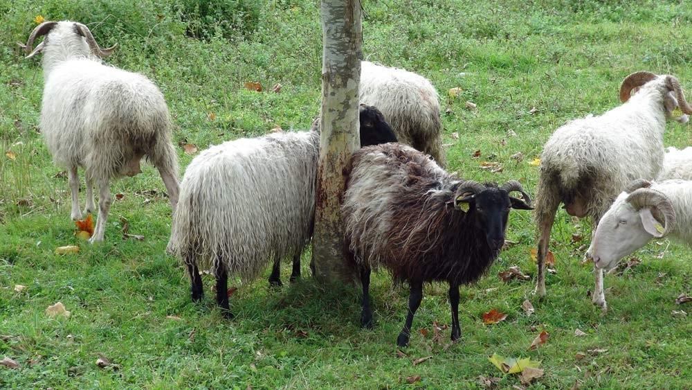 Basco-béarnaise et Manech tête noire