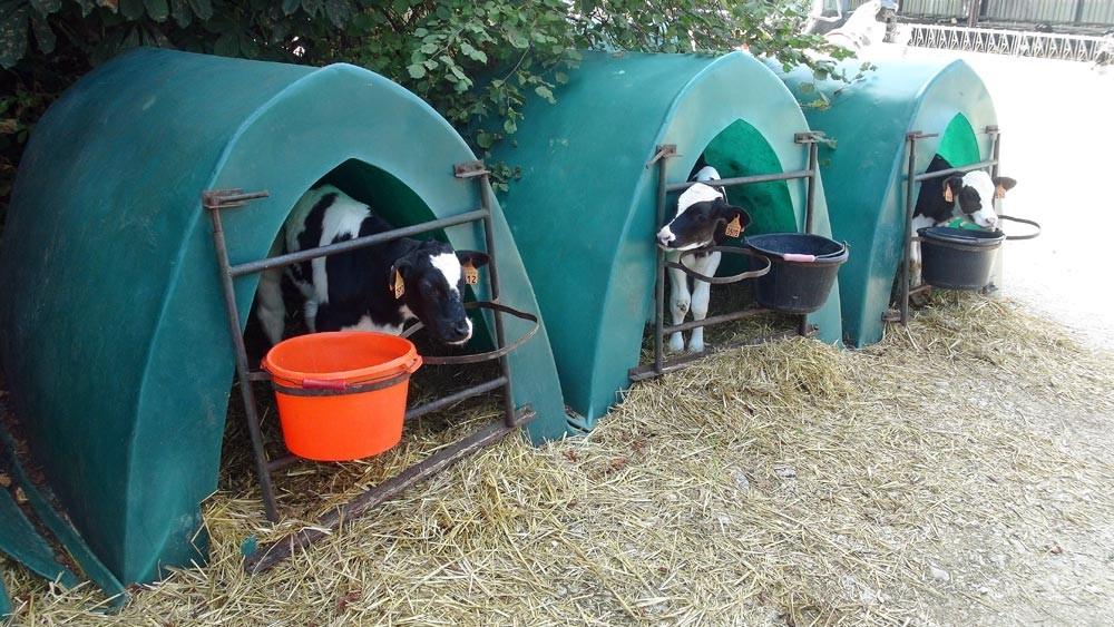 """Petits veaux de """"Prim'Holstein"""""""