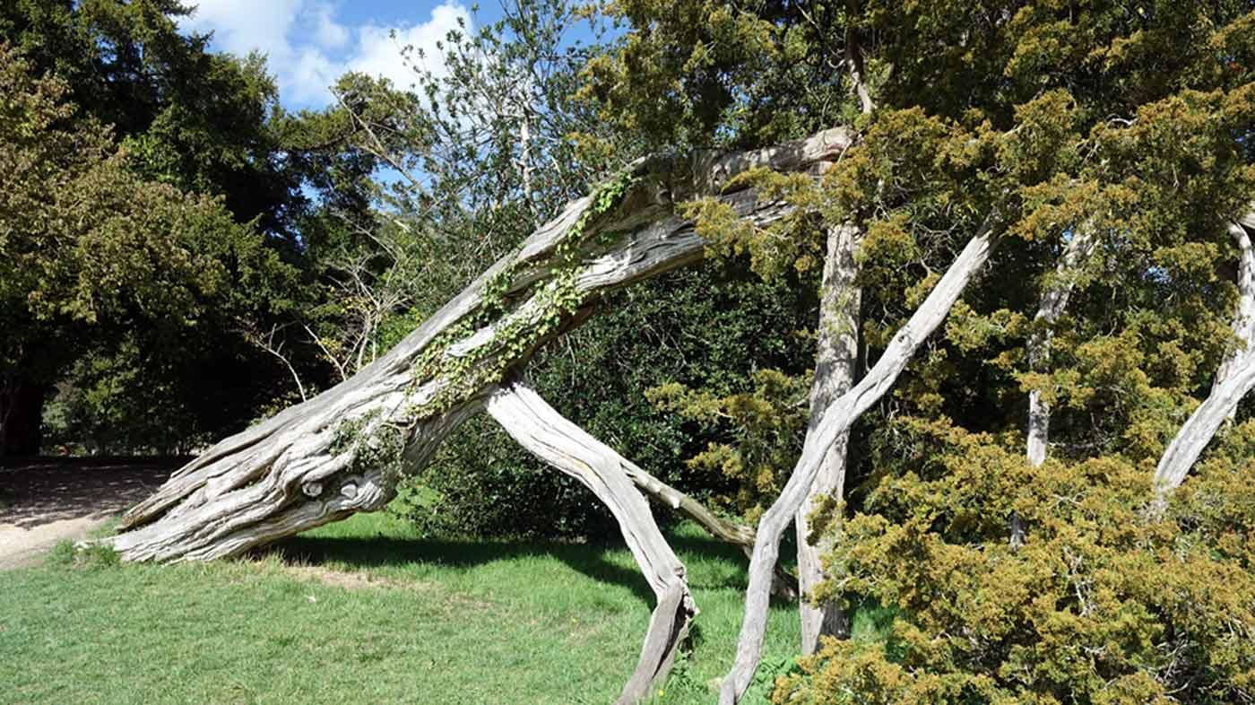 Un arbre bizarrement incliné, peut-être après la tempête de 1999 ?