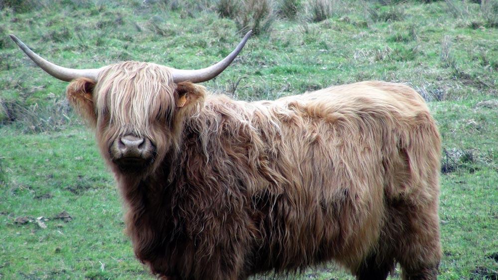 Highland Cattle  - 24 mars 2016