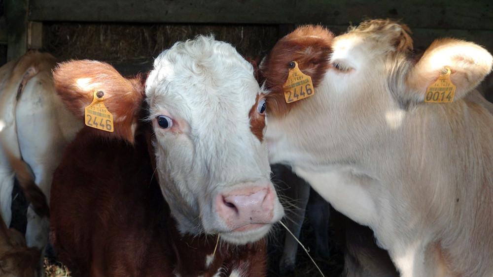 Veaux de lait Blonde d'Aquitaine et Hereford affectifs