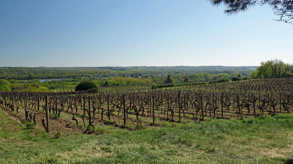 Vignes de cabernet franc et sauvignon