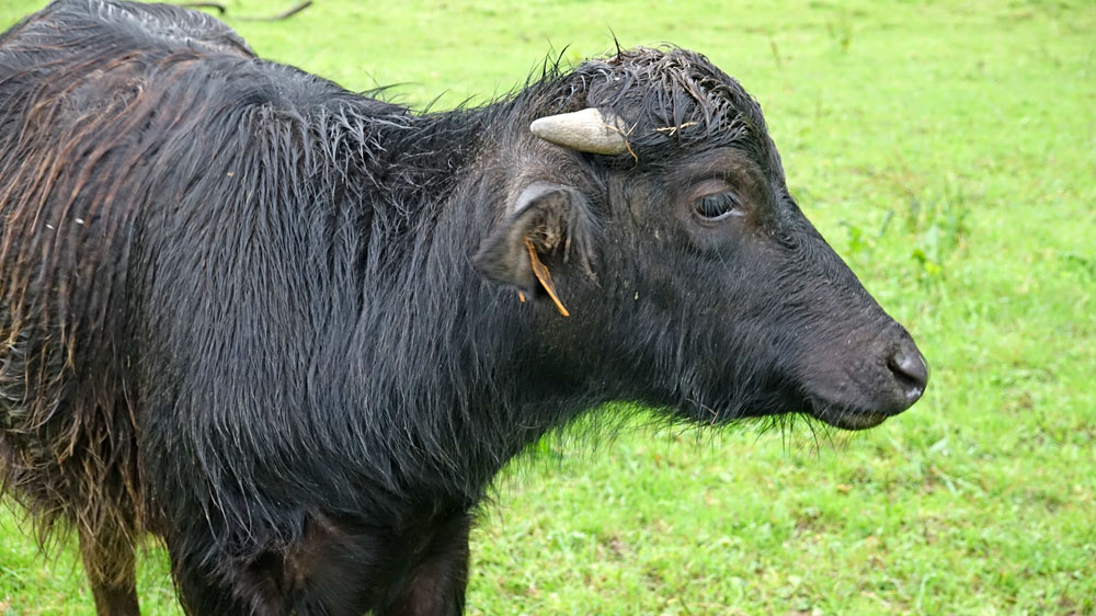 Jeune bufflonne