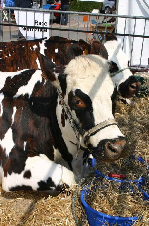 Vaches à viande de race normande