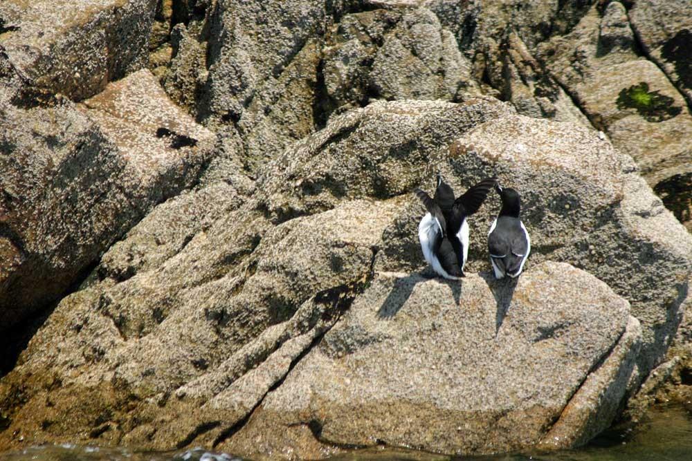 Pinguoins torda