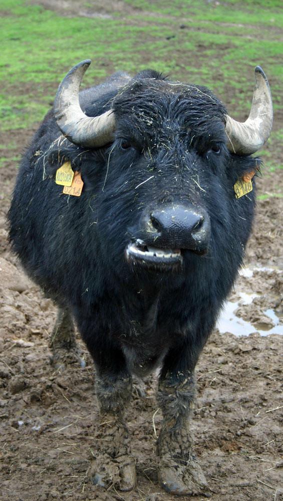 Bufflonne en pleine réflexion