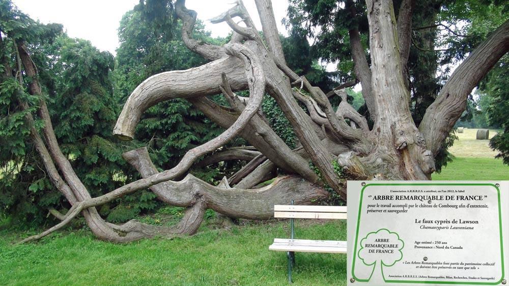 Un arbre remarquable de Franceee (Faux cyprès de lawson)