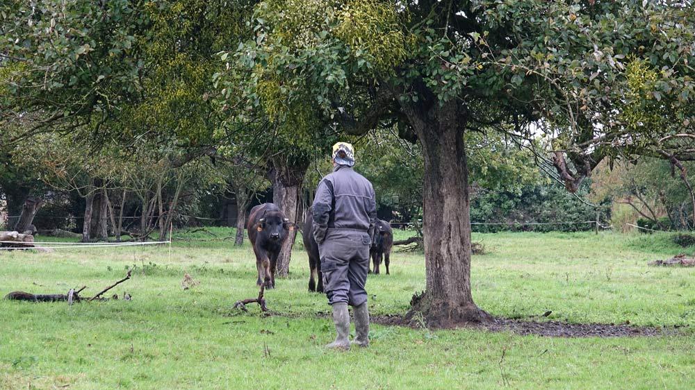 Fanny Bertrand part chercher ses jeunes bufflonnes