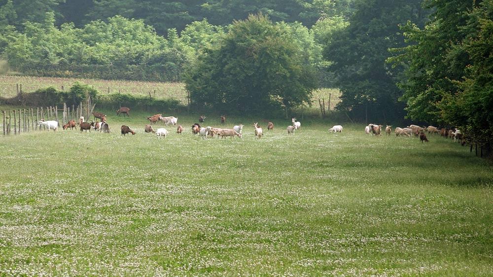 Les chèvres broutent ...