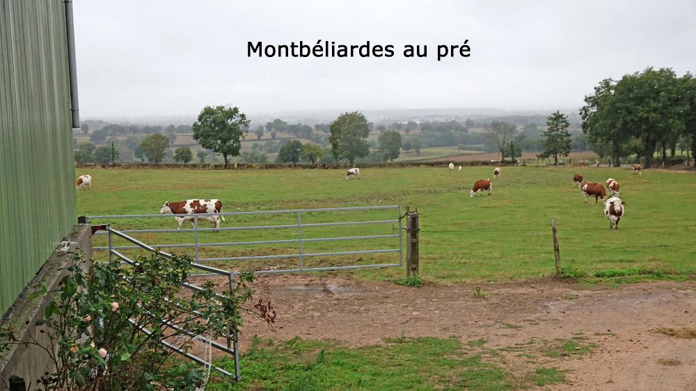 Montbéliardes au pré
