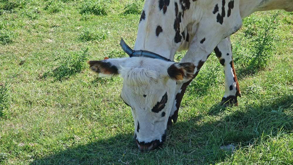 Une vache laitière normande broute tranquillement