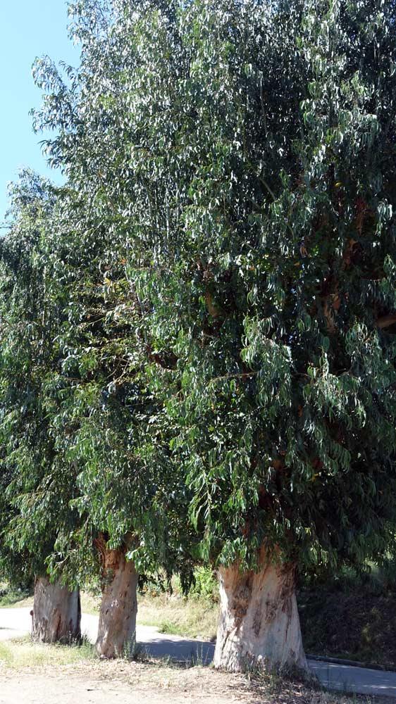 Les eucalyptus géants