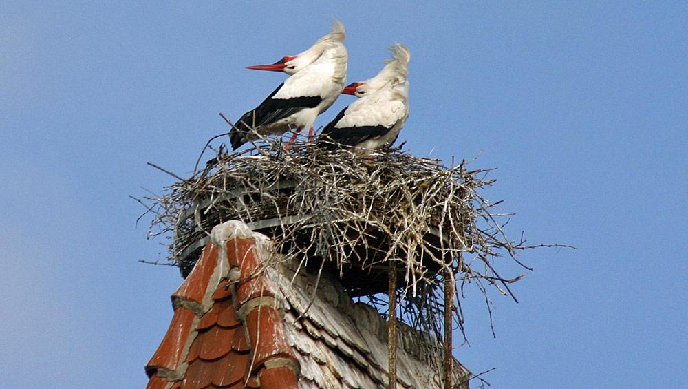 Ammerschwihr côté ouest - son couple de cigognes