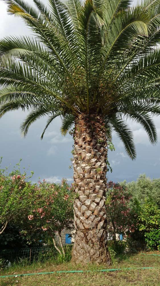 Un splendide palmier