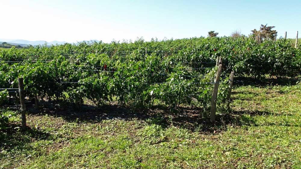 Le piment d'Espelette en culture (vue d'un champ de Piment n'étant pas celui des Saint-Jean)