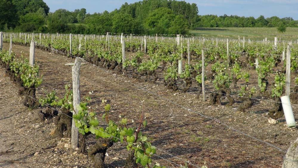 Vignes de cépage Romorantin pré-phylloxérique (avant 1875)