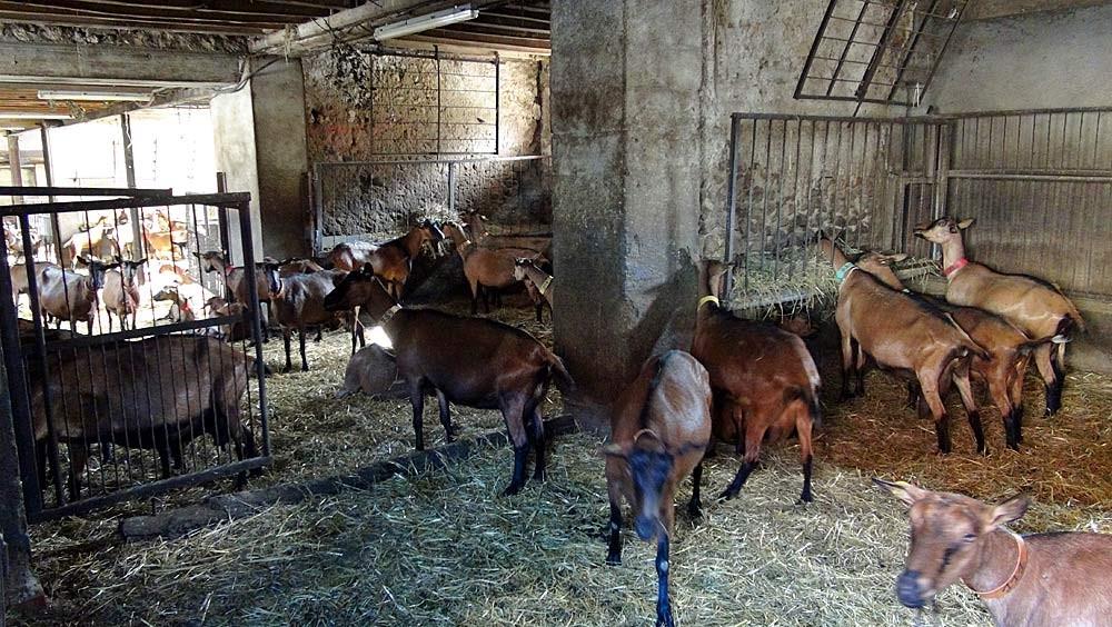 """Quelques-unes des 200 chèvres """"alpines"""" de la ferme du Feulard"""