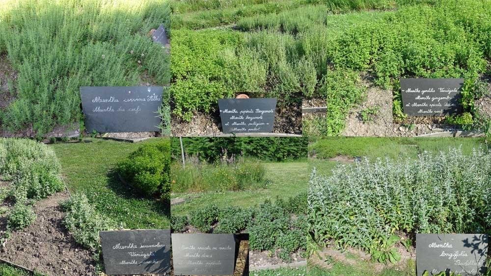 Château de la Roche Jagu : les nombreuses et insolites variétés de menthe