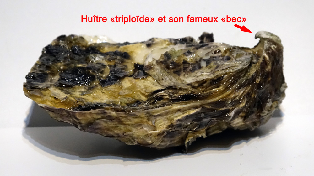 """Huître """"triploïde"""" et son fameux """"bec"""""""