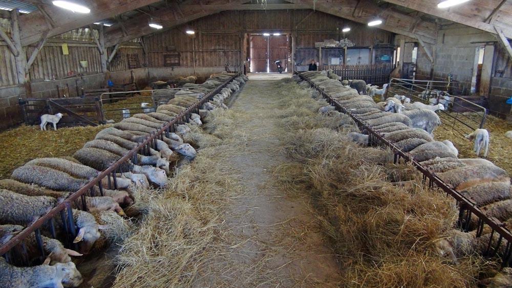 La bergerie et ses 200 brebis