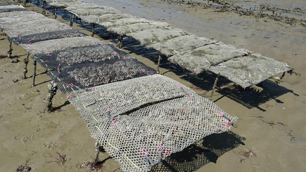 Poches d'huîtres naturelles