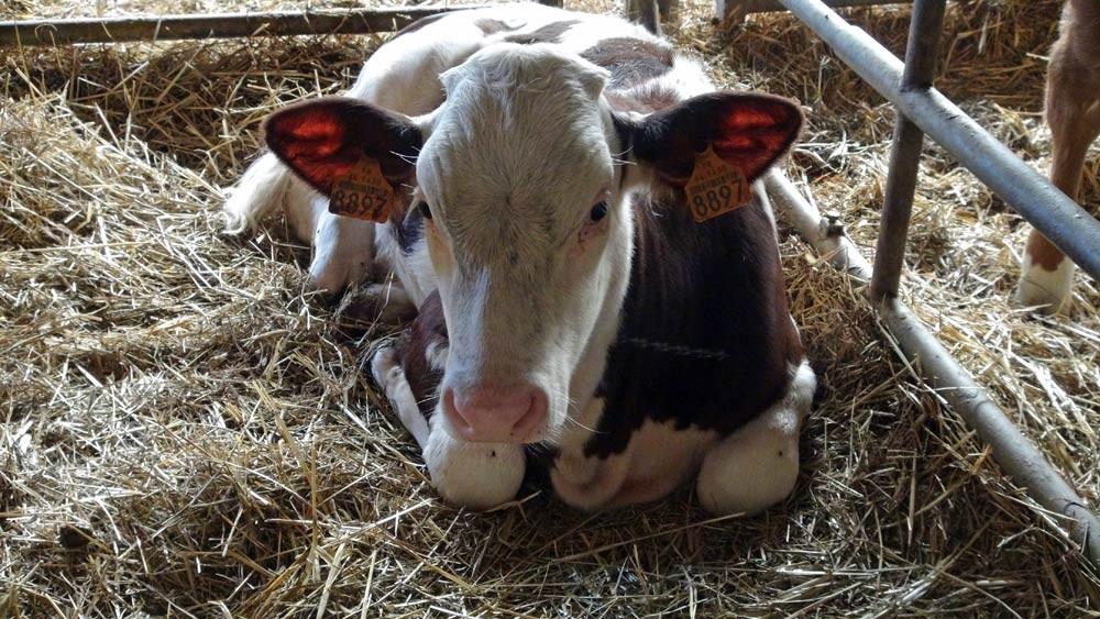 Veau de lait Hereford