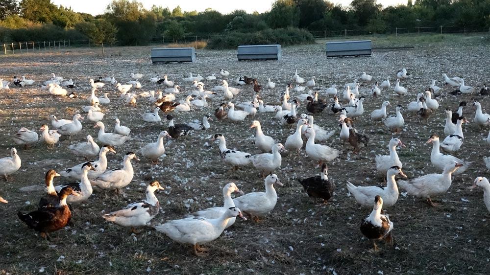 Les canards gras