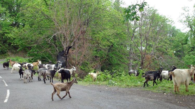 Les typiques chèvres Corses au détour d'une route