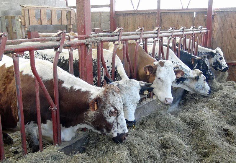 Vaches vosgiennes, dont une rare à la robe marron au premier plan