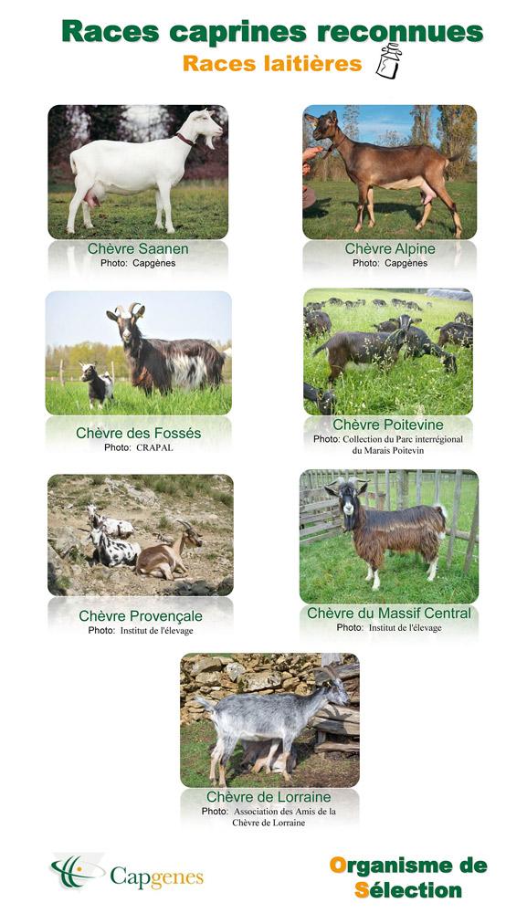 Les différentes races de chèvre