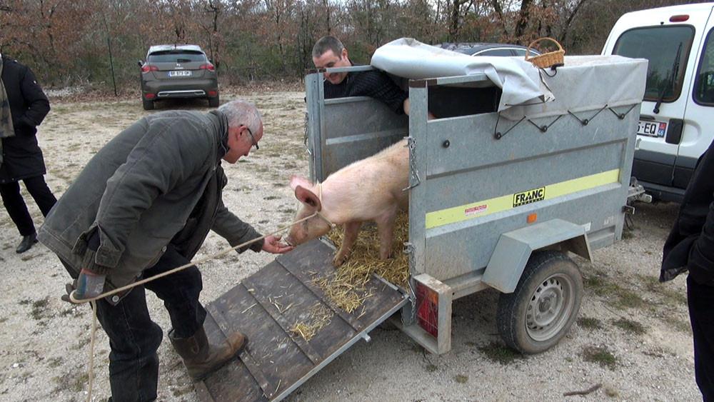La descente du cochon