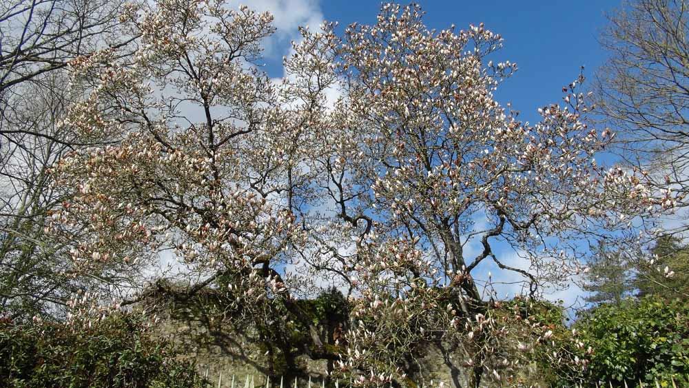 Un Magnolia rue des Cordeliers