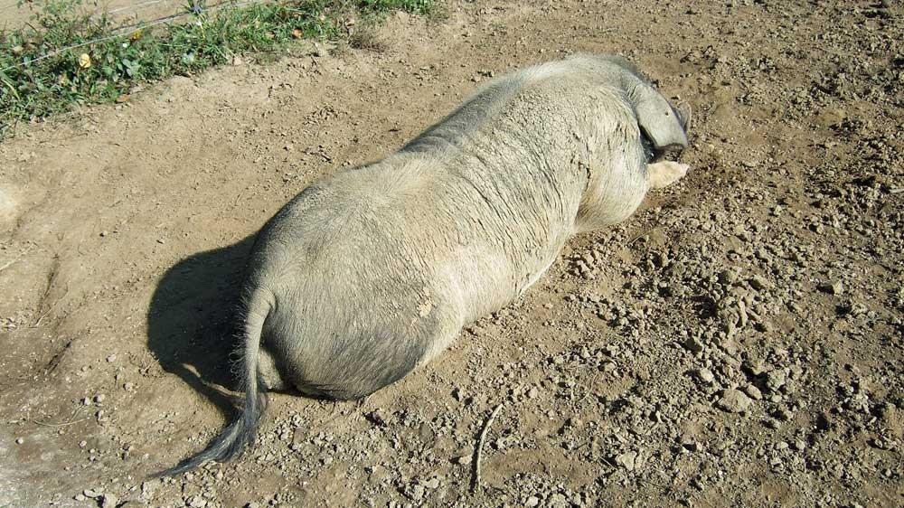 Le reproducteur de 300 kg se repose (Depuis cette photo prise en 2009, il a terminé fin novembre 2013 en terrine !)