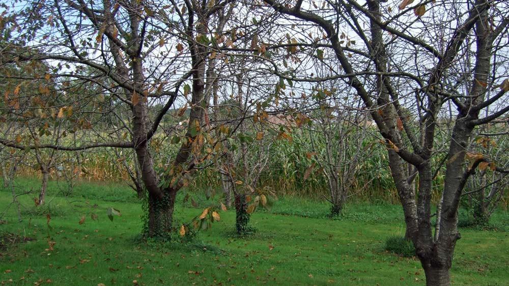 Cerisiers de Maxan Usandisaga