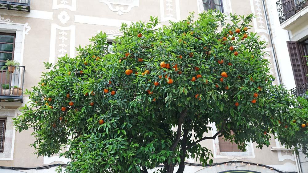 Au hasard d'une rue, un oranger