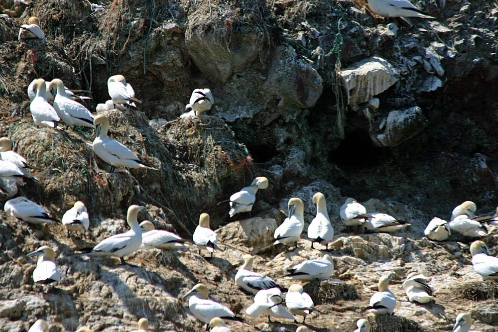 Les Fous de Bassan de l'Île Rouzic