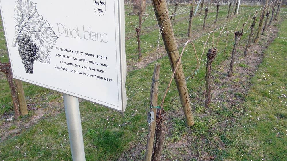 Ammerschwihr côté ouest - Pinot blanc