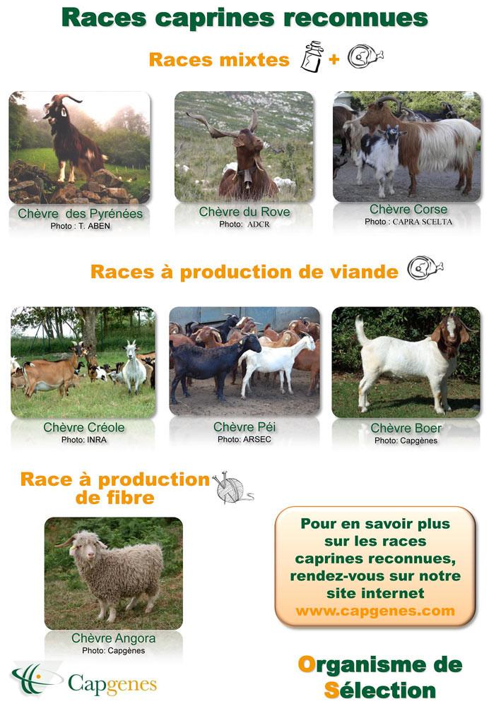 Les différentes races de chèvres - 2