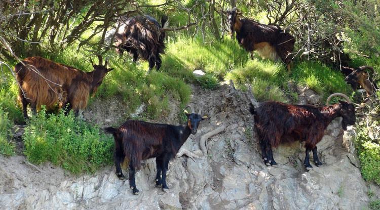 Les chèvres Corses sont douées pour l'escalade